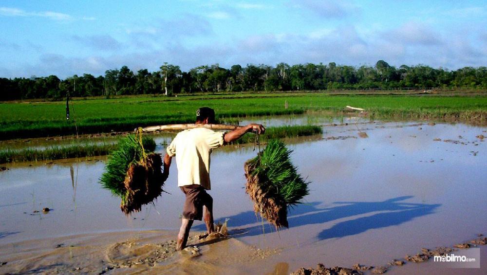 Gambar pak tani bersiap menanam padi