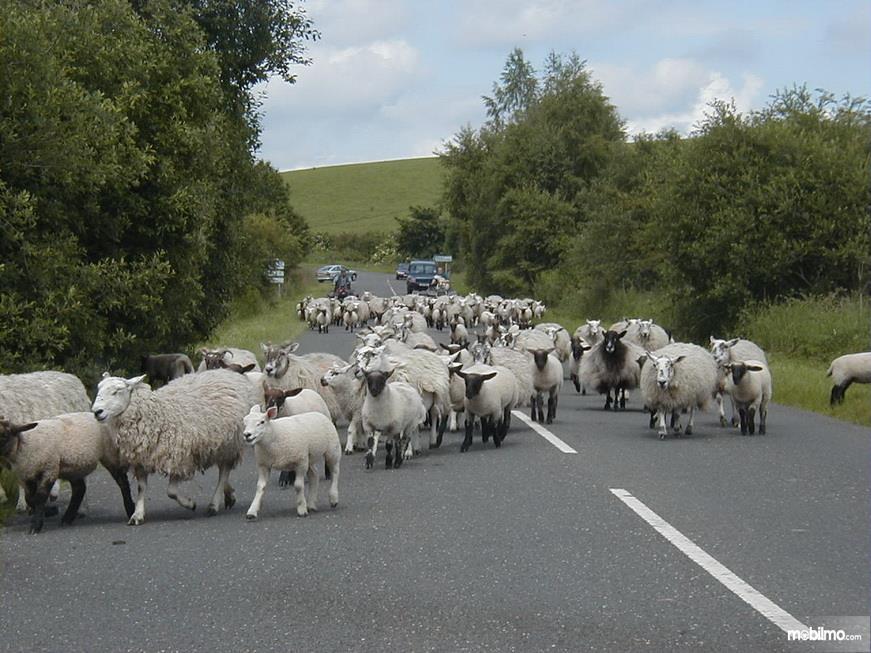 Foto segerombolan kambing di jalan raya