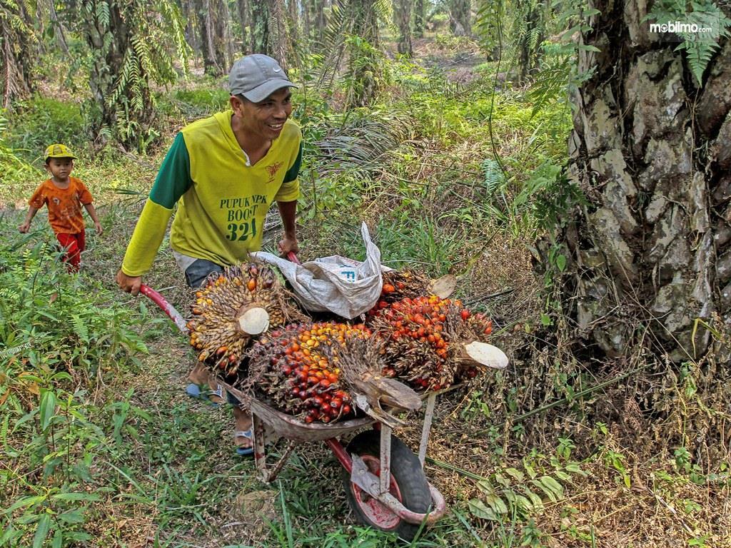 Foto Petani Sawit sedang mengangkut sawit dari perkebunan