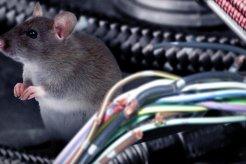 Repotnya Berurusan Dengan Tikus Dalam Mobil